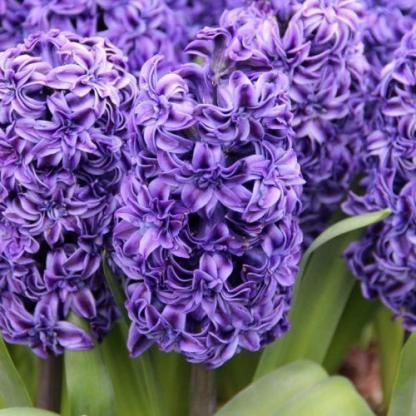 A Hyacinthus 'Royal Navy' intenzív illatú, sötétkék szirmú, hosszan virágzó, egyszerű virágú jácint.