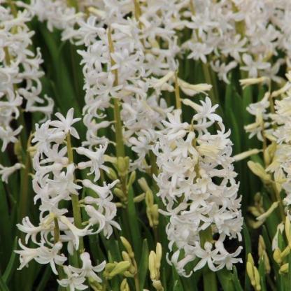hyacinthus-white-festival-multiflora-jacint