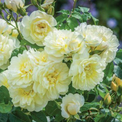 Imogen sárga angol rózsa