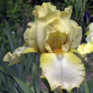 iris-barbata-elatior-antique-ivory-noszirom