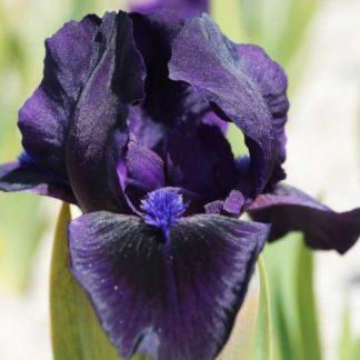 iris-barbata-nana-michael-paul-noszirom