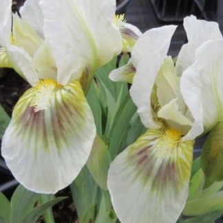 iris-pumila-green-spot-apro-noszirom