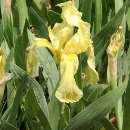 iris pumila Reichenbachii apro nőszirom