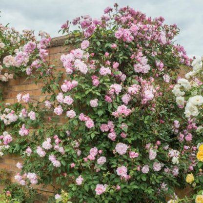 Mortimer Sackler - rózsaszín angol futórózsa