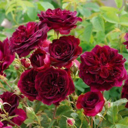 Munstead Wood - bordó angol rózsa