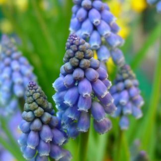 Az alacsony termetű Muscari armeniacum - örmény gyöngyikének kobaltkék virágai vannak fehér szegéllyel.