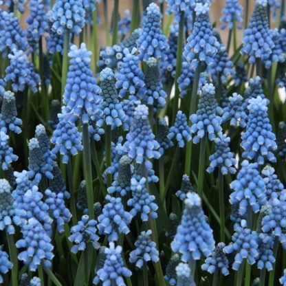 muscari-aucheri-blue-magic-gyöngyike