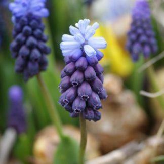 A Muscari latifolium - széleslevelű gyöngyike érdekessége, hogy a tetején világosabb színű, steril virágok is fejlődnek.