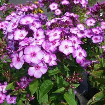 phlox-paniculata-sweet-summer-purple-bicolor-bugas-langvirag