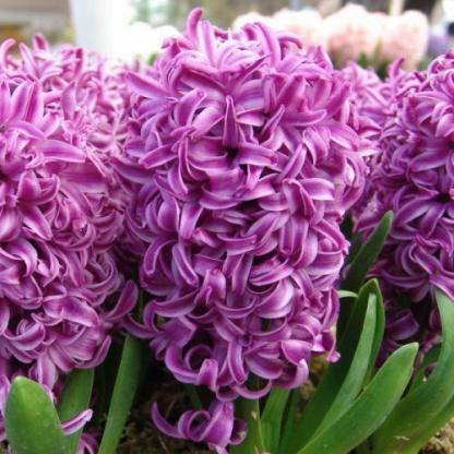 A Hyacinthus 'Purple Sensation' - egyszerű virágú jácint intenzív illatú, mély ametiszt árnyalatú virágszirmokkal. 2-3 hétig is virágzik.