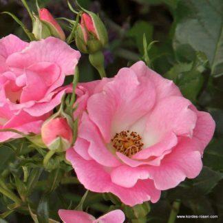 Roselina rózsaszín bokorrózsa