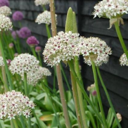 """Allium basalticum 'Silver Spring' - díszhagyma 1 Az <strong>Allium basalticum 'Silver Spring' - díszhagyma</strong> rendkívül különleges, igen mutatós díszhagyma. Csillag alakú, krémes fehér virágok rózsaszín szemekkel - ezek alkotják a virág gömbjét. <ul> <li><em>Kiszerelés: """"A"""" minőségű virághagyma, 12/+ cm</em></li> </ul>"""