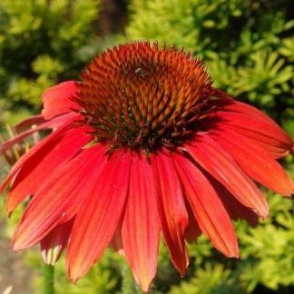 sunseekers red echinacea