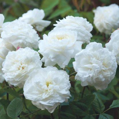 Susan Williams Ellis fehér angol rózsa