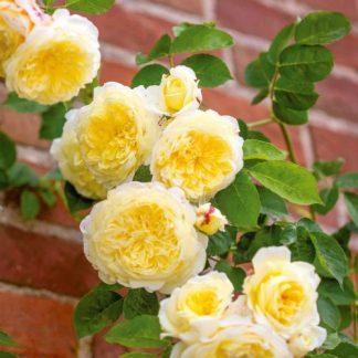 The Pilgrim David Austin angol rózsa