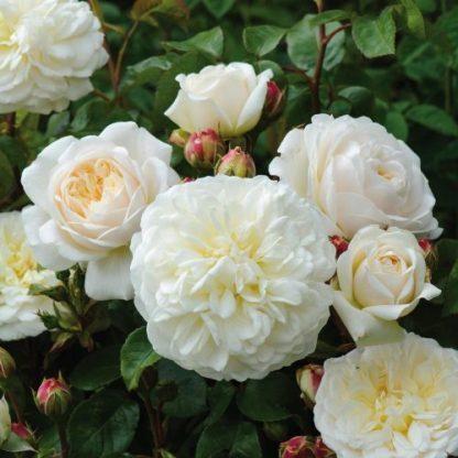 Tranquillity fehér angol rózsa