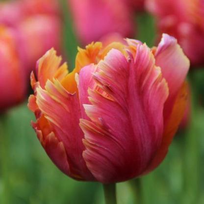 A színes, papagájtollazatra emlékeztető Tulipa 'Amazing Parrot'® - papagáj tulipán tündöklik a kertben a változatos színeivel!