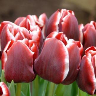A Tulipa 'Armani' - Triumph tulipánt sötétvörös szirmok alkotják, a széleken fehér kontúrral.