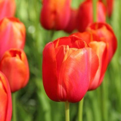 A Tulipa 'Avignon' - Triumph tulipán pirosas árnyalatú, sötét narancssárga szirmai sárga belsőt ölelnek körbe.