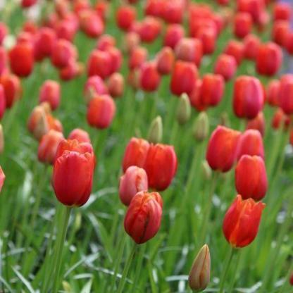 Tulipa 'Avignon' - Triumph tulipán csoportosan ültetve.