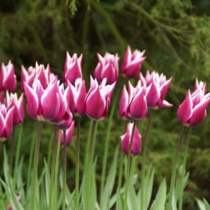 Tulipa Ballade liliomvirágú tulipán
