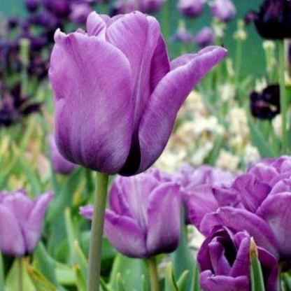 A Tulipa 'Bleu Aimable' - Triumph tulipán erős szára miatt akár nyitott, szeles helyekre is lehet ültetni.