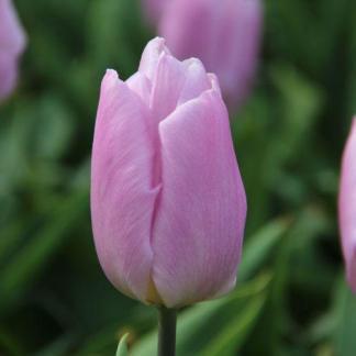 A Tulipa 'Candy Prince' - Triumph tulipánt alvány lila, levendula színű szirmok alkotják.