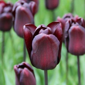 Mint az összes mélylila színű tulipán, így a Tulipa 'Continental' - Triumph tulipán is lenyűgöző látványt nyújt a tavaszi kertben.