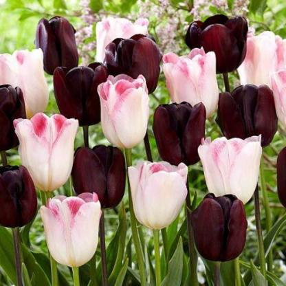 Tulipa Continental Triumph tulipán