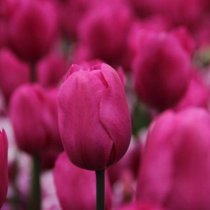Tulipa 'Don Quichotte' - Triumph tulipán