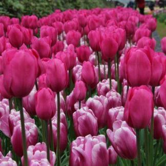A Tulipa 'Don Quichotte' és a Tulipa 'Mistress' tulipánok párosítása.