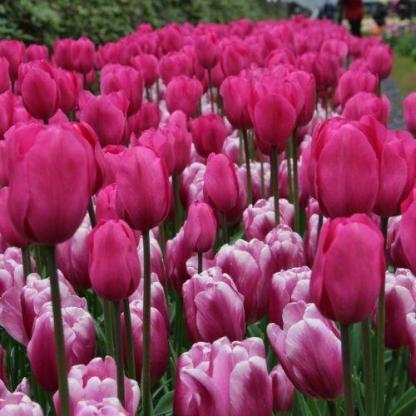 Élénk rózsaszínű tulipán válogatás