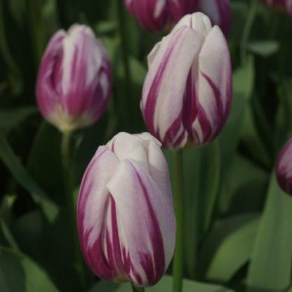 A Tulipa 'Flaming Flag' - Triumph tulipán jól mutat önmagában, de más lila színű tulipánokkal is remekül párosítható!
