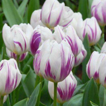A Tulipa 'Flaming Flag' - Triumph tulipán különleges, lila csíkos tulipán.