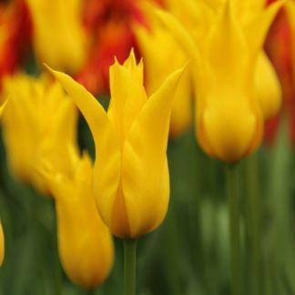Tulipa Flashback liliomvirágú tulipán