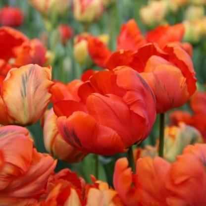 Tulipa Flower Power papagáj tulipán