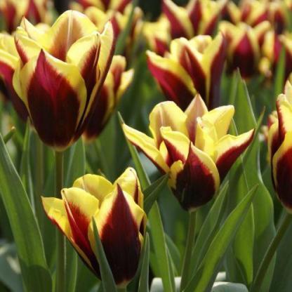 A díjnyertes Tulipa 'Gavota' - Triumph tulipán az élénk színével kitűnik az egyszínű tulipánok közül.