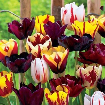 Tulipa 'Gavota', Tulipa 'Black Hero' és Tulipa 'Happy Generation' tulipánok