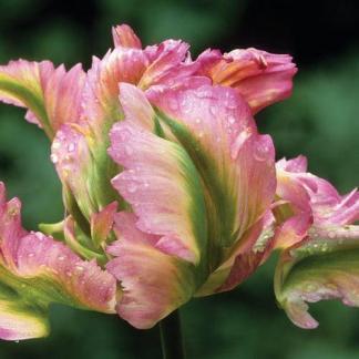 Tulipa Green Wave papagáj tulipán