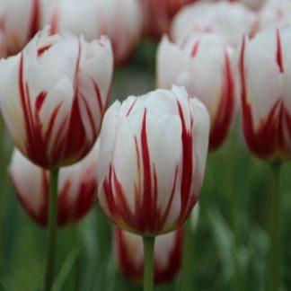 A Tulipa 'Happy Generation' - Triumph tulipánt fehér-bordó csíkossága teszi különlegessé.
