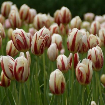 A Tulipa 'Happy Generation' - Triumph tulipán csoportosan ültetve is jól mutat.