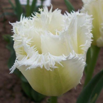 Tulipa 'Honeymoon' - rojtos tulipán