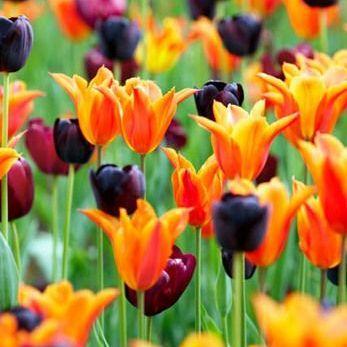 Tulipa 'Jan Reus' - Triumph tulipán