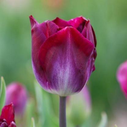 Tulipa 'Kansas Proud' - Triumph tulipán