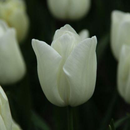 Tulipa 'Kiwanis' - Triumph tulipán