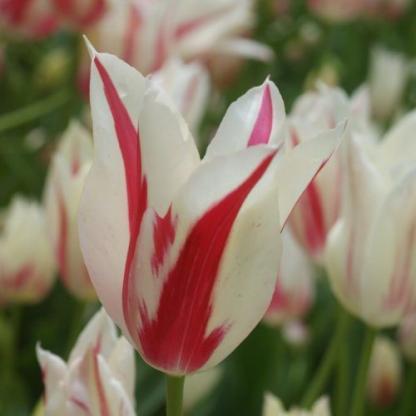 Tulipa Marilyn liliomvirágú tulipán
