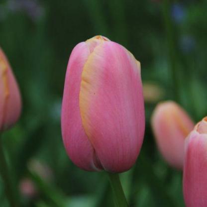 Tulipa 'Menton' - Triumph tulipán