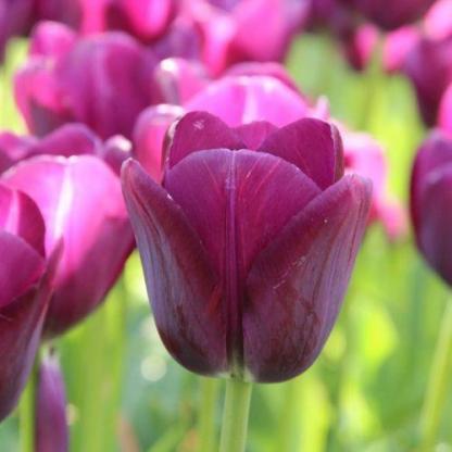 A lila színű Tulipa 'Negrita' - Triumph tulipán önmagában és tulipánválogatásokban is remekül mutat!