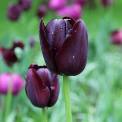 Tulipa 'Queen of Night' - Triumph tulipán