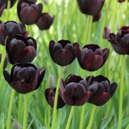 A Tulipa 'Queen of Night' - Triumph tulipán csoportosan ültetve, önmagában is mutatós.